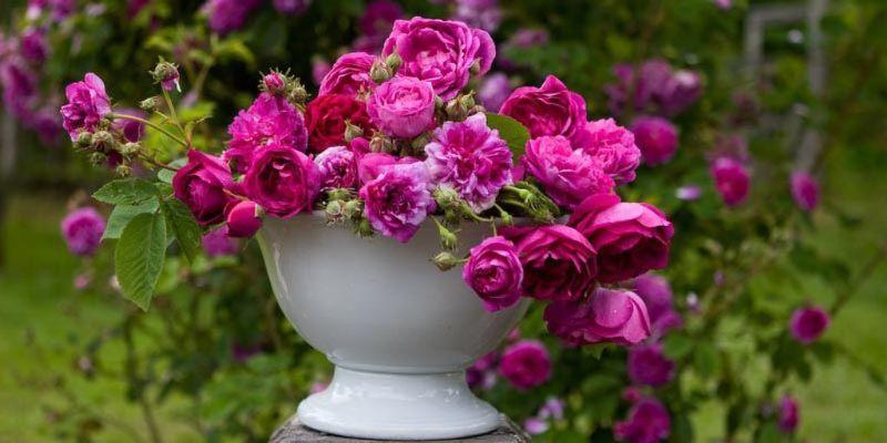 Ремонтантная роза в горшке, уход в домашних условиях