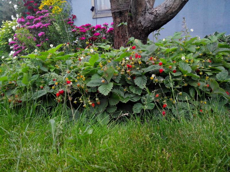 Земляника руяна выращивание 77