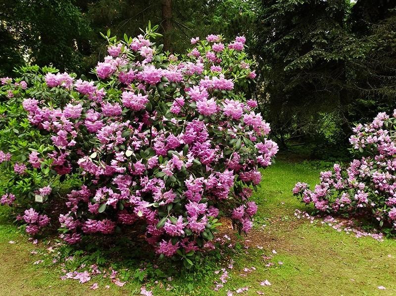 Рододендрон Катевбинский - декоративный красивоцветущий кустарник с нежными розовыми цветками