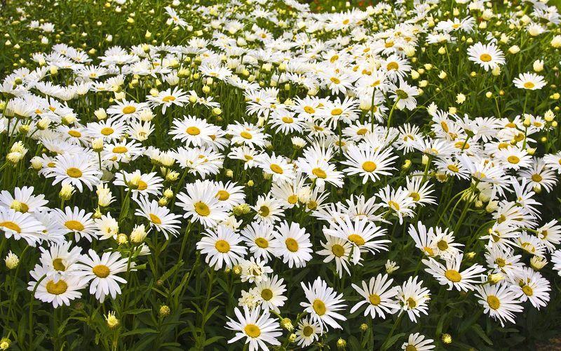 Ромашка луговая для цветущей лужайки