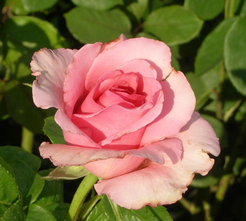 кустовые розы сорта фото с названиями