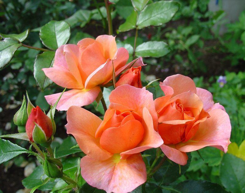 Розы в дизайне сада Роза в дизайне сада и ландшафтном дизайне (фото) Дом