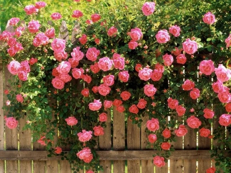 Роза плетистая украсит сад нежным цветением на протяжении всего лета