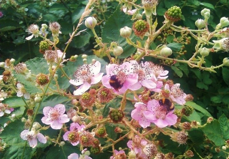 Начало цветения ежевики Блэк Сатин