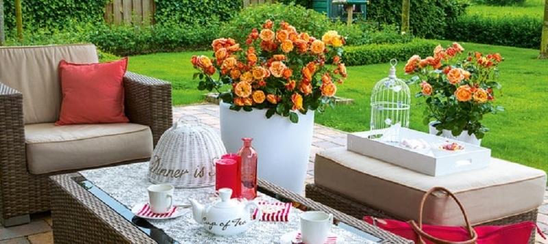 Розы в горшках на летней открытой веранде