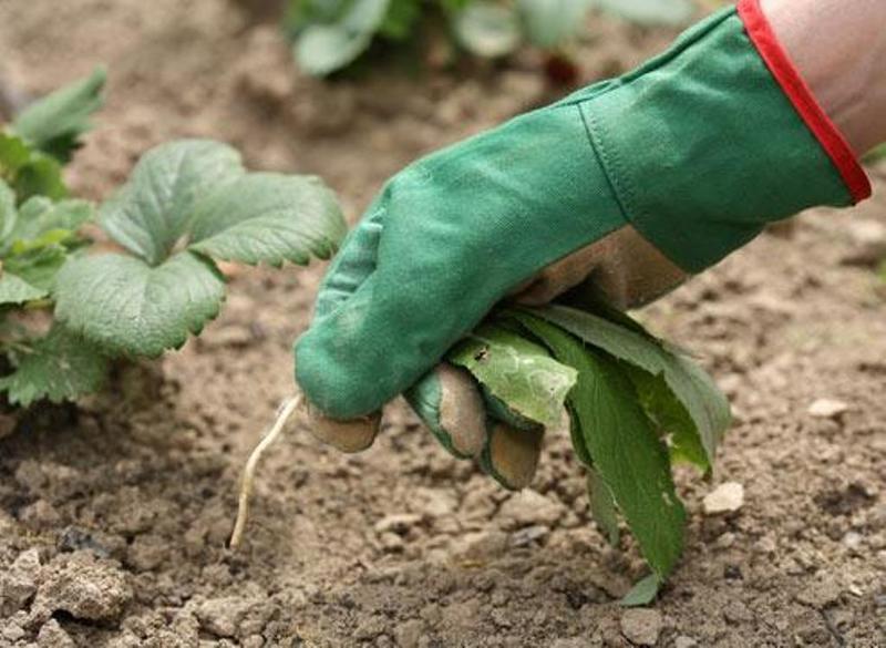 Ручная прополка сорняков на клубничных грядках