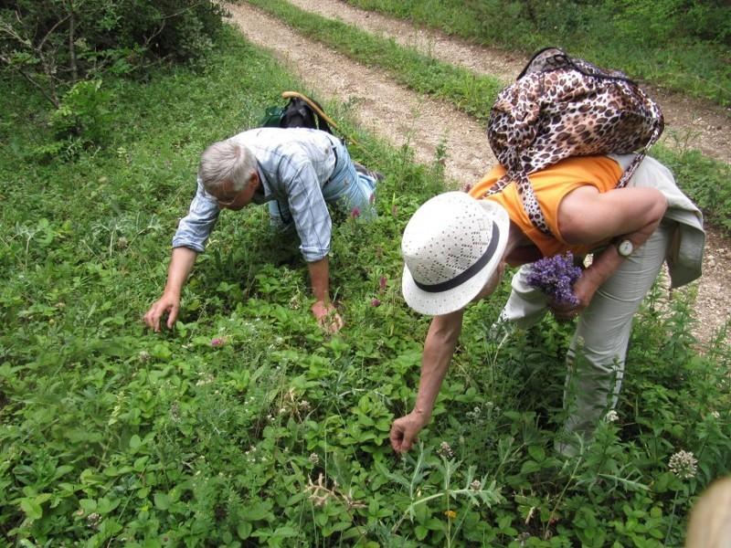 Ручной сбор урожая земляники