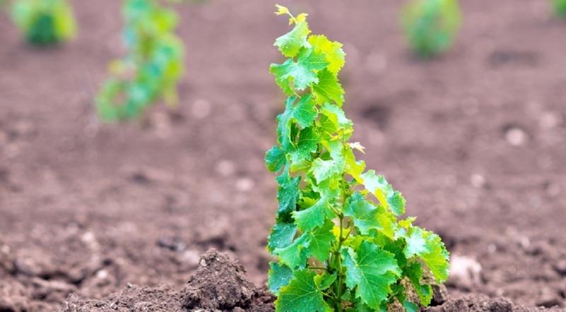 Саженцы винограда из косточки в открытом грунте
