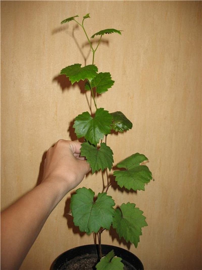 Саженец винограда из косточки возрастом 6 месяцев