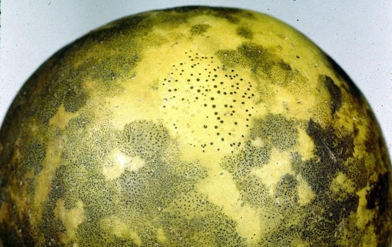 Сажистый грибок на поверхности плодов груши