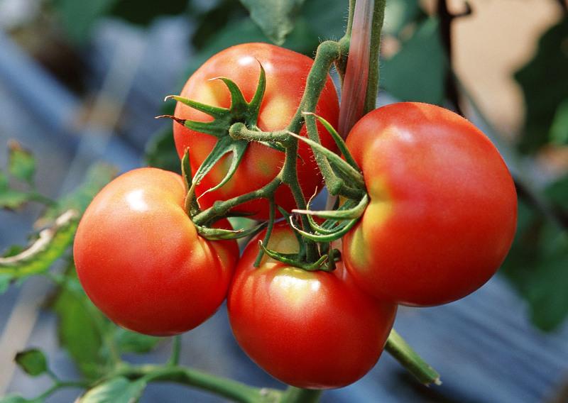 Секреты выращивания помидоров в открытом грунте