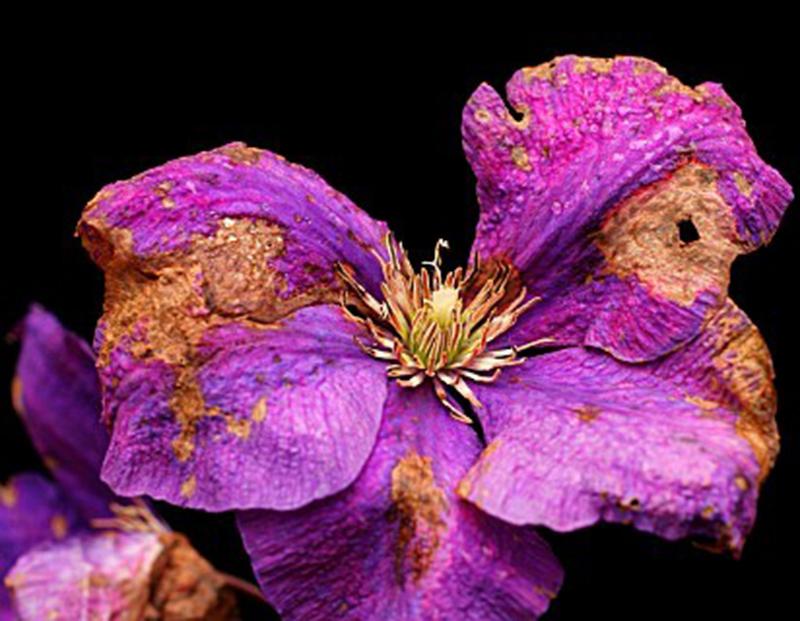 Серая гниль на цветке клематиса