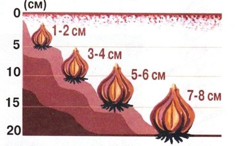 Схема: глубина посадки от размера луковиц тюльпанов
