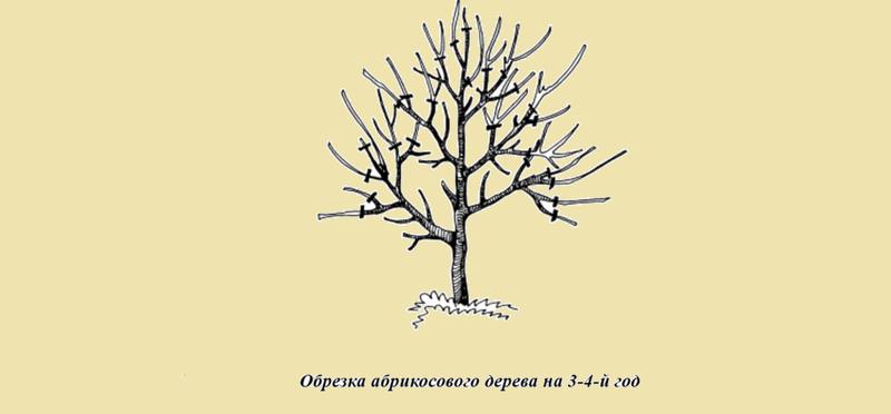 Схема обрезки абрикоса 64