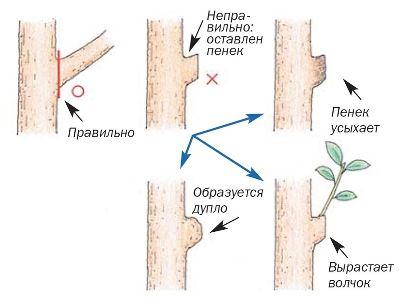 Схема обрезки деревьев: На кольцо