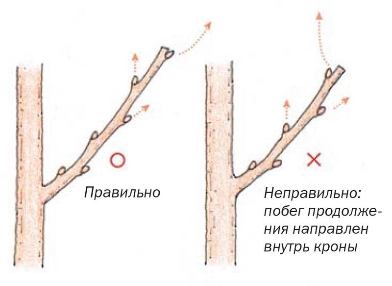 Схема обрезки: определяем место среза ветки