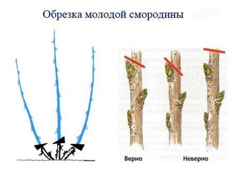 Схема обрезки саженцев смородины после посадки
