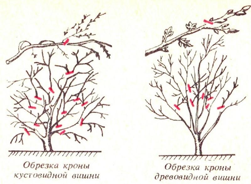 Схема обрезки кустовой и древовидной вишни осенью
