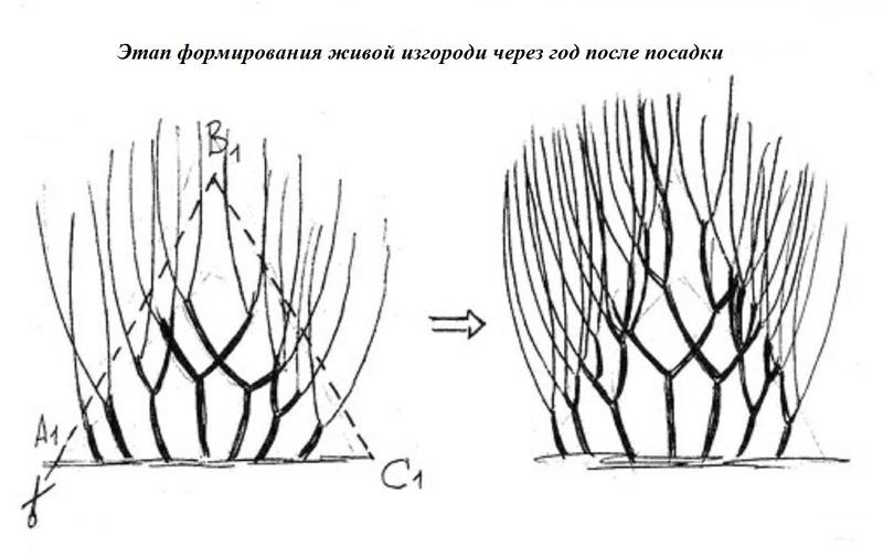 Схема обрезки живой изгороди на 1 год
