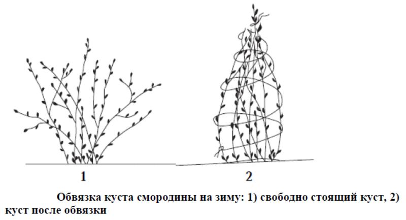 Схема обвязки куста смородины на зиму