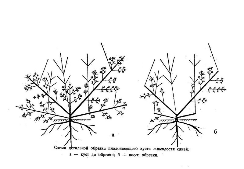 Схема омолаживающей обрезки жимолости съедобной
