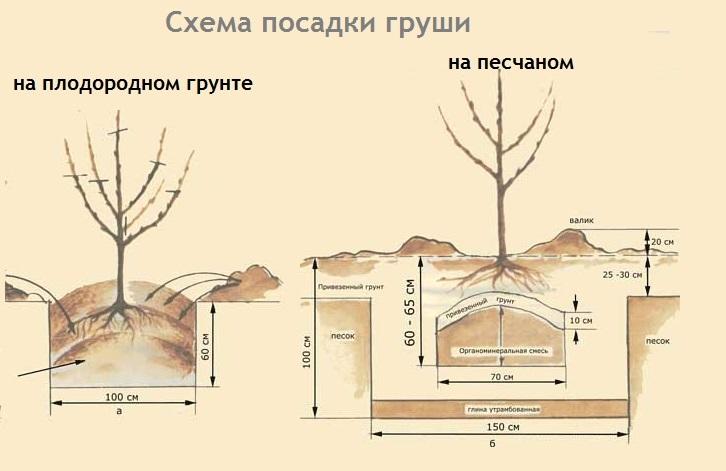 Схема посадки груши на разных типах грунтов