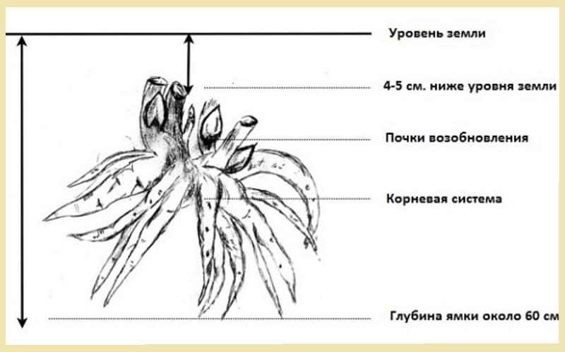 Схема посадки пионов