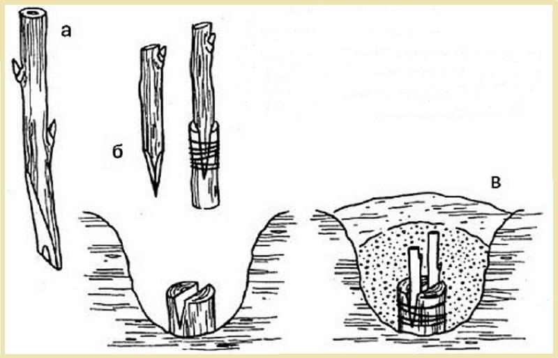 Схема прививки винограда на штамб