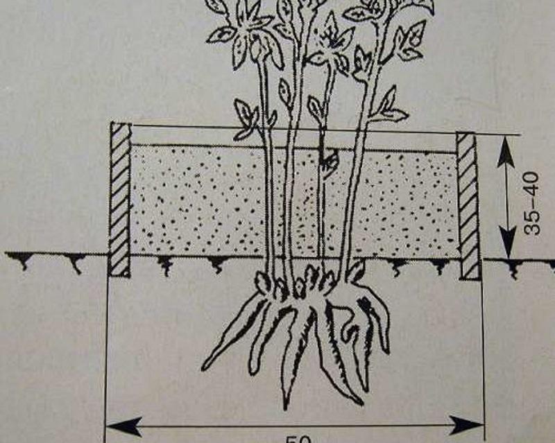 Схема размножения пиона вертикальными отводками