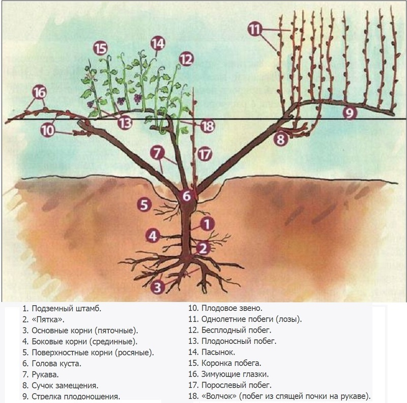 Схема виноградного куста с элементами и названиями