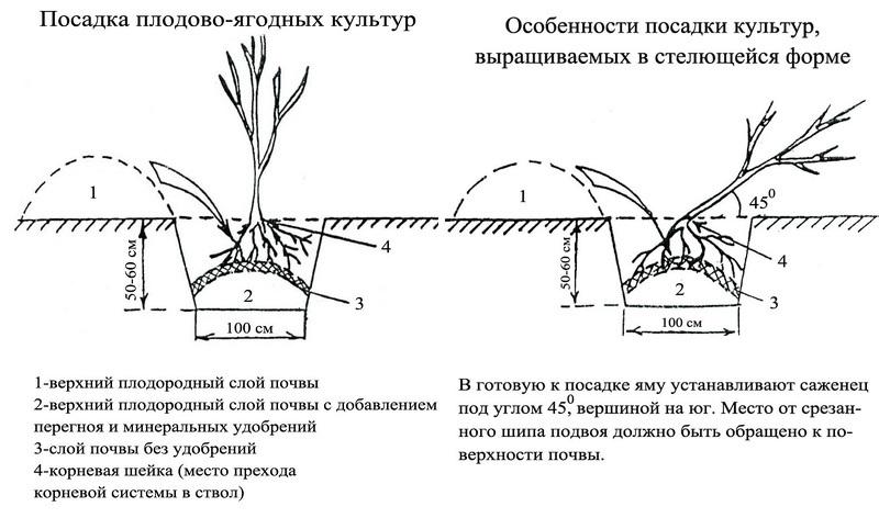 На каком расстоянии от сосны можно сажать плодовые деревья 1