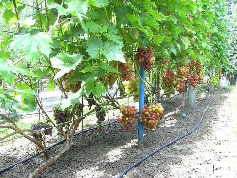 Шпалера удерживает на себе урожай винограда
