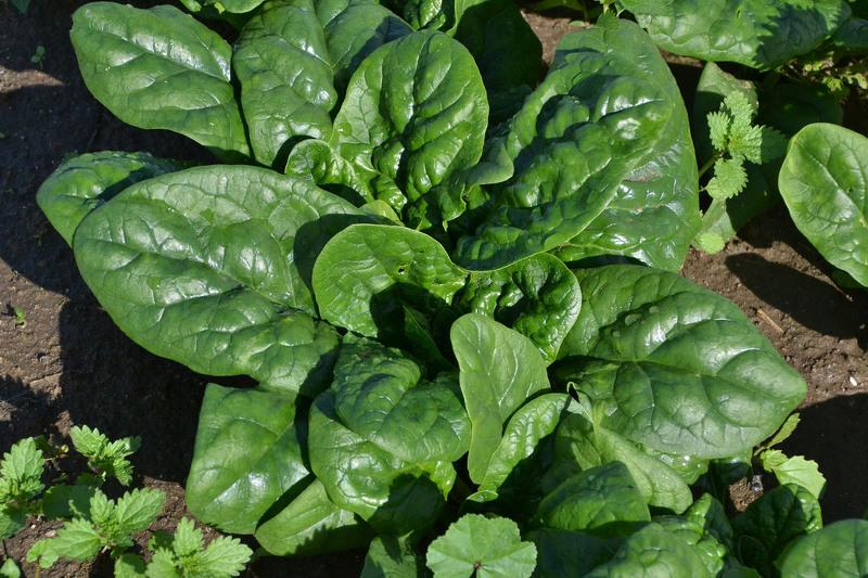Шпинат - полезный овощ, богатый микроэлементами, белком и органическими кислотами