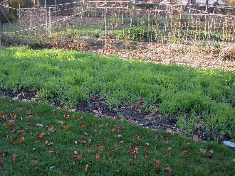 Засеянная сидератами почва отдыхает, а зелень идет под перекопку и является удобрением