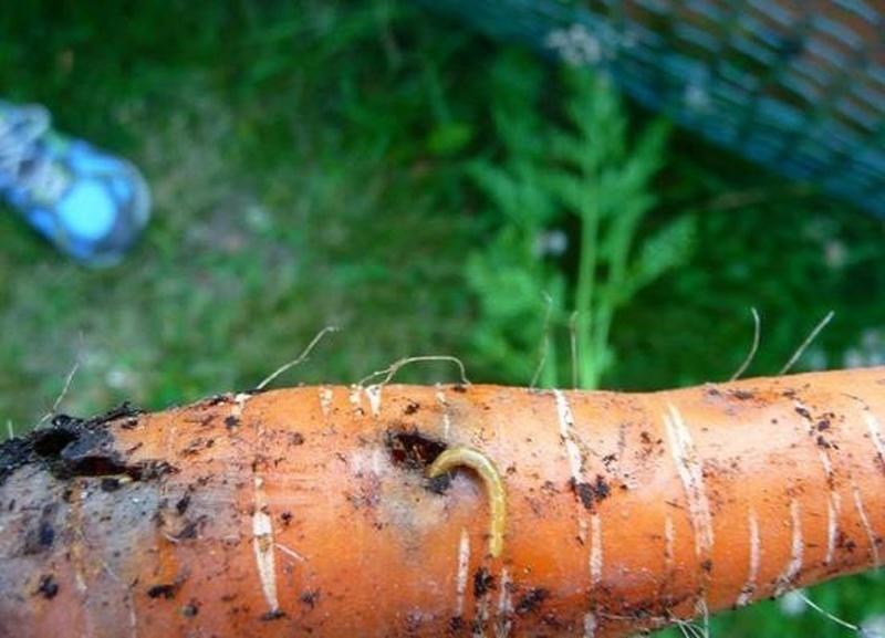 Симптомы поражения моркови молью