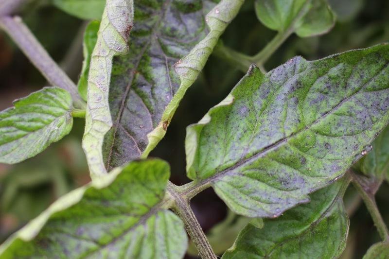 Скручивание листа помидора при недостатке калия