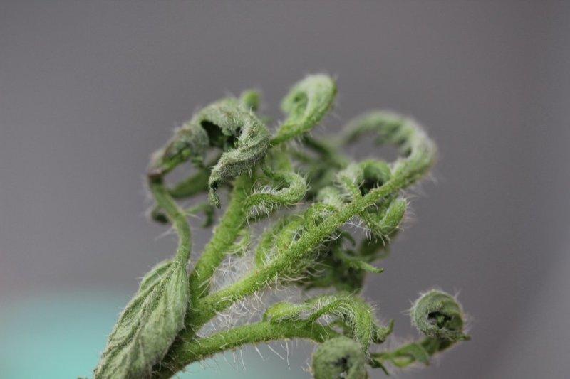 Скручивание листьев рассады помидор при переизбытке марганца