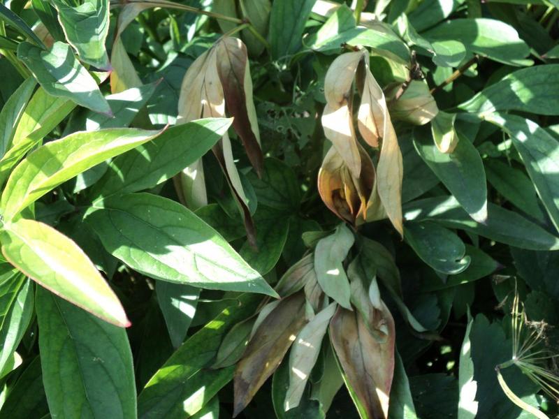 Скручивание листьев пионов при неправильном уходе
