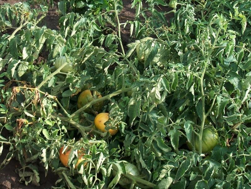 Скручивание листьев помидор из-за нехватки микроэлементов