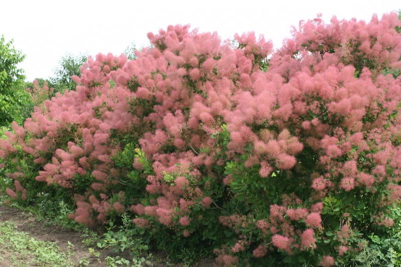 Скумпия очень обильно цветет и непривередлива к уходу