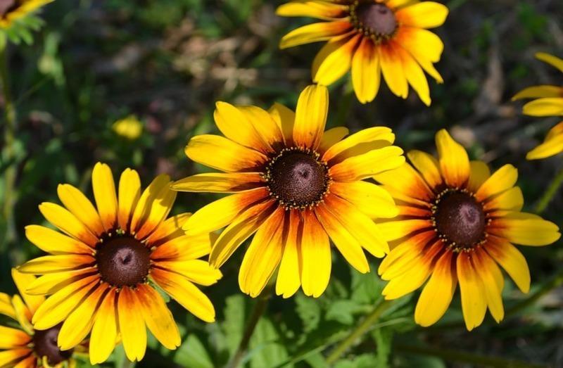 Солнечный цветок, или рудбекия привлечет внимание к архитектурным постройкам