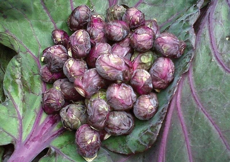 Роселла - необычный розовый гибрид брюссельской капусты