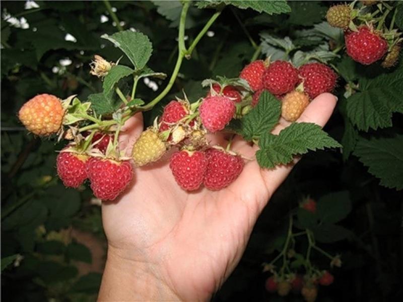 Продажа ягод малины ранняя частные объявления автозапчасти подать объявление в челябинске