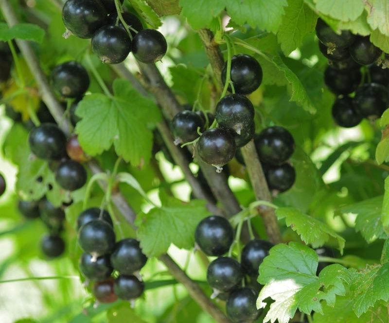 Раннеспелый сорт смородины Дачница порадует плодами в начале июля