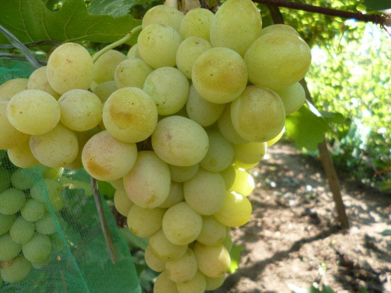 Сорт винограда Талисман или Кеша 1, фото