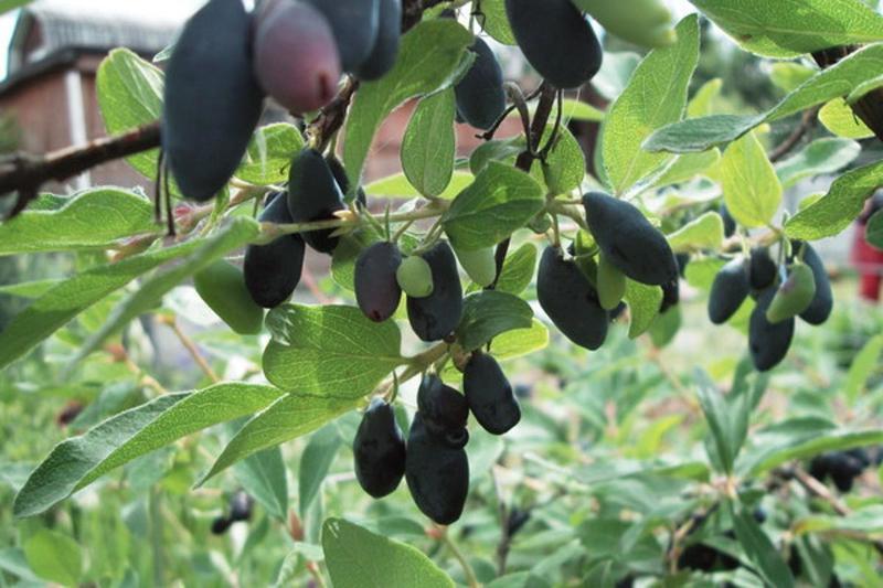 Сорт жимолости Голубое веретено приносит урожай крупных ягод