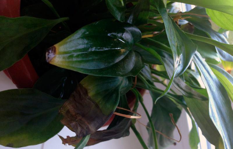 Почернение кончиков листьев спатифиллума