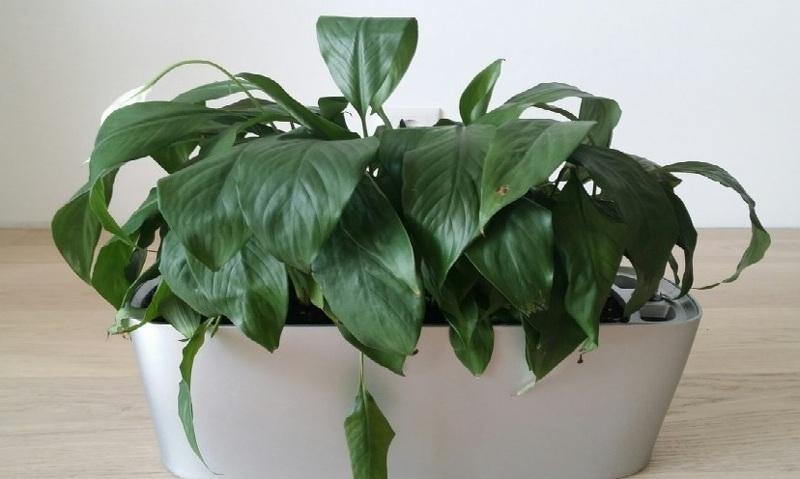 Увядание листьев спатифиллума