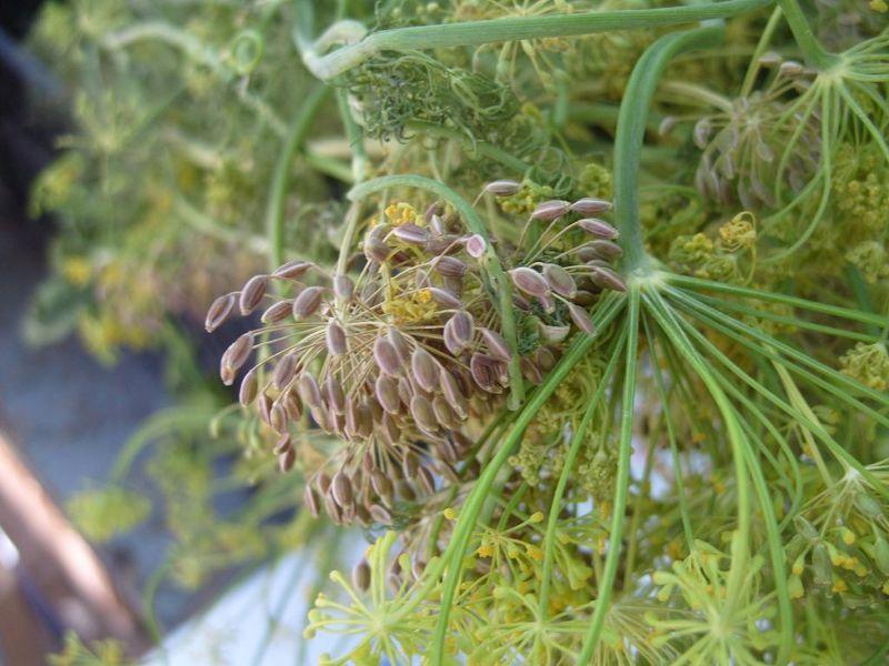 Среднеспелые сорта укропа выращивают на семена и для зимних заготовок
