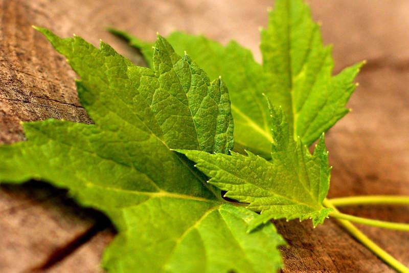 Свежие листья смородины для приготовления лекарственных настоев